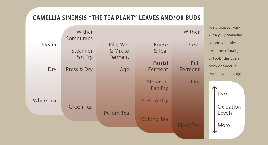 How tea is made with the Camellia Sinensis plant.